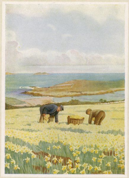 Picking daffodils for the market, St Mary's, Scilly Isles