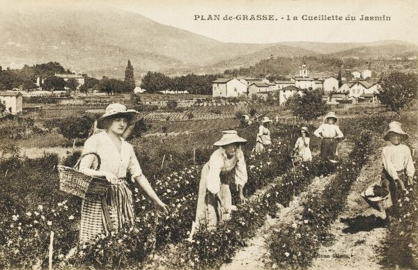 Picking Jasmine at Grasse, France
