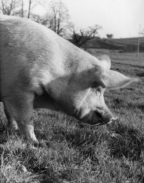 A pig stands in a field, contemplating the grass