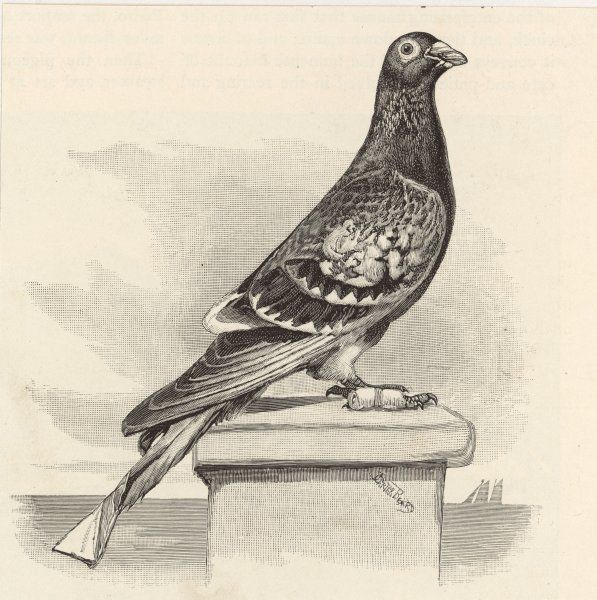 A messenger pigeon with message strapped to foot (Columbidae species)