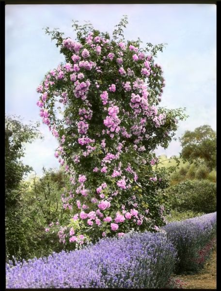 A tall pink rosebush (Rosaceae family), with lavender growing below