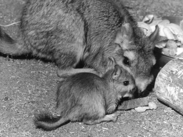 The Plains Viscacha, a rodent of the Chincilla family. Date: 1960s