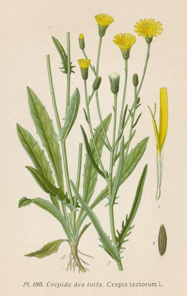 a species of HAWK'S-BEARD, known in France as roof crepis