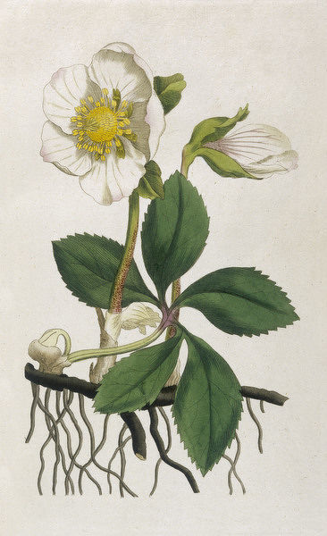 BLACK HELLEBORE or CHRISTMAS ROSE used to cure mental afflictions since 1400 BC