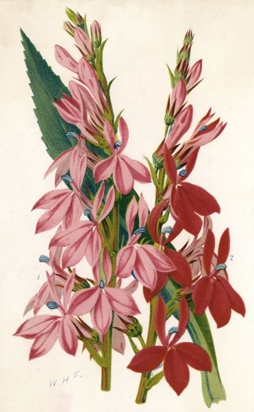 variants 'Peach Blossom' and 'Distinction' Date: 19th century