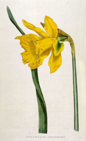GREAT DAFFODIL