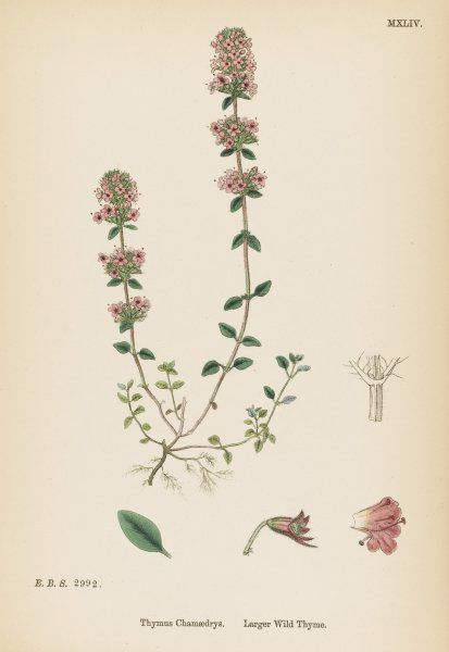 (LARGER) WILD THYME