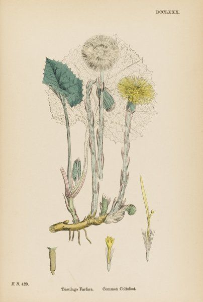 COMMON COLTSFOOT