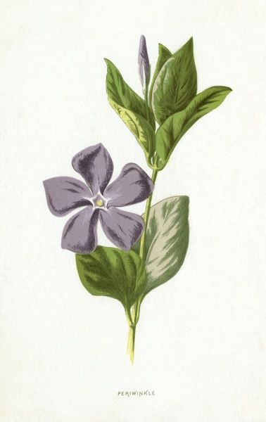 PERIWINKLE Date: 1894