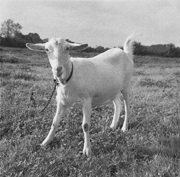 A Playful Goat, Worcestershire. Photograph by Norman Synge Waller Budd