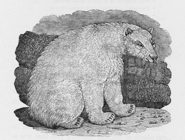Ursus albus : Bewick reports that they can be up to 13 feet (4m) long. It seems to like cold climates - 'these inhospitable regions seem adapted to its sullen nature&#39