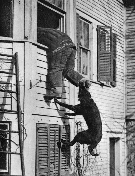 Police dog in action at a training station. The dog leaps to bite the leg of a man entering the first floor window of a house Date: 20th century