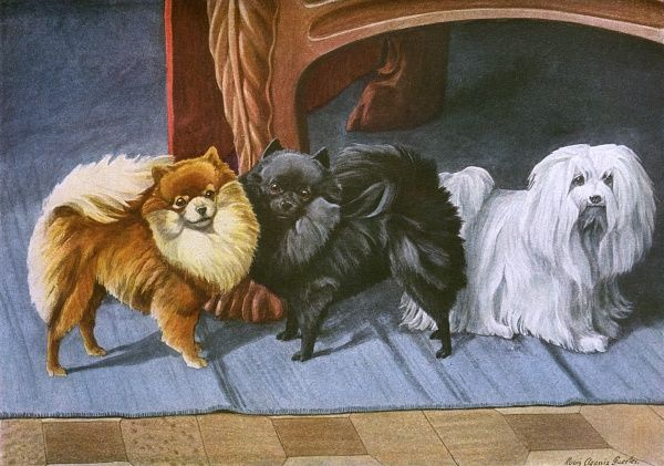 Pomeranians, Maltese Terrier, three dogs on a rug. Date: 20th century