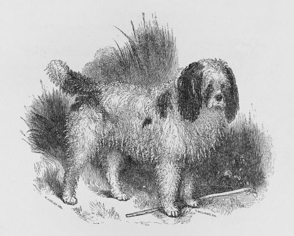 An interesting old engraving of a long-coated poodle before the breed was given its present-day appearance. At this period poodles were used for retrieving in water