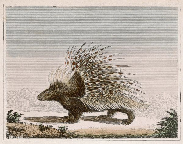 Rodent quadruped of the hystericidae family. Its erectile spines, or quills, are a protective device of great effectiveness