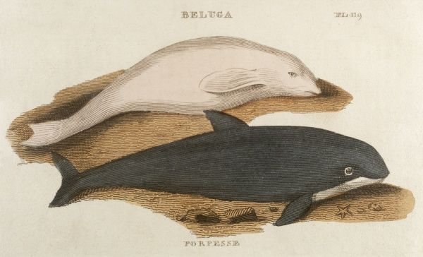 A porpoise and an adult beluga whale (Delphinapterus leucas) - these whales turn fully white at about 6 years old