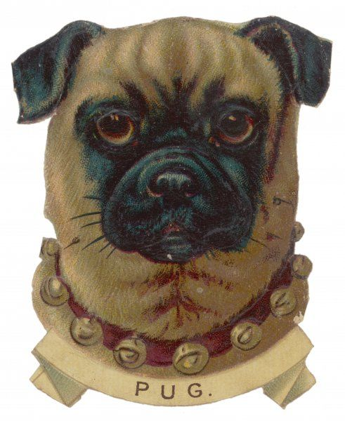 Portrait of a pug wearing a collar with bells