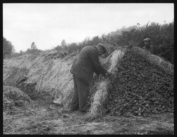 Men storing potatoes, covering clamps of them with straw on a farm in Surrey, England