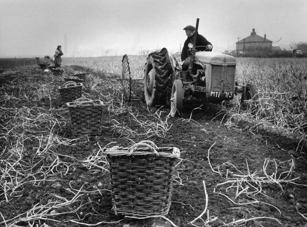 Lifting potatoes at Rainhill, Lancashire, using a tractor Date: 1960