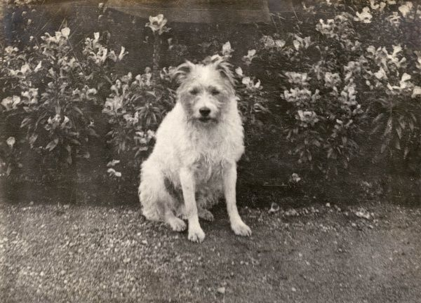 A terrier dog belonging to George V when he was Prince of Wales