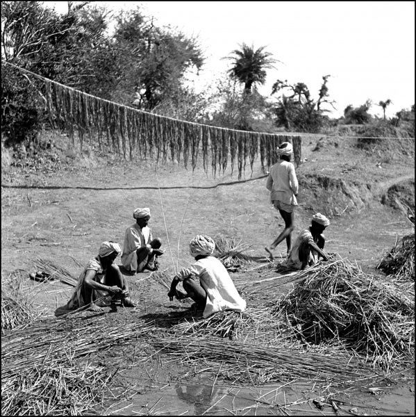 Agricultural processes in a province in North-west India, now a part of modern-day Pakistan. The men are collecting reeds and drying plants on a long string from a rapidly-drying riverbed. Photograph by Ralph Ponsonby Watts