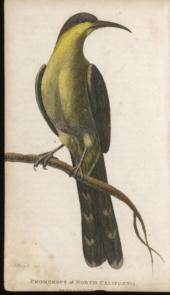 Most birds of the promerops family live in Africa, but this was observed in North California in the course of La Perouse's circumnavigatory voyage