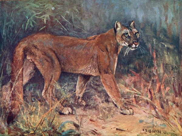 A puma walks through the savannah. (puma concolor) Date: 1909