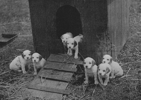 Seven scottish puppies and thier kennel Date: 20th century