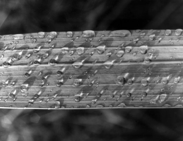 Raindrops on a leaf. Date: 1960s