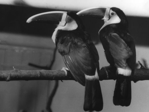 A couple of red-billed Toucans. Date: 1960s