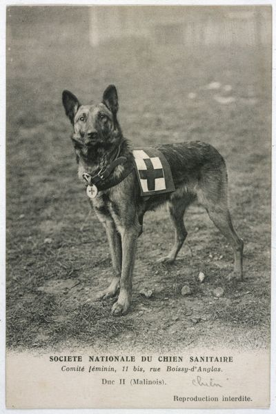 A Malinois (Belgian Shepherd Dog) trained for work as a French Red Cross dog. Duc II, stands ready for action