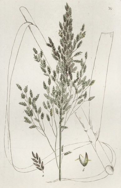 Reed Sweet-grass - Poa Aquatica Coloured engraving by Johan Wilhelm Palmstruch, (1770-1811), Date: 1800s