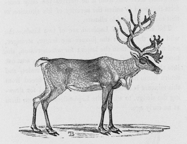 cervus tarandus 'The poor Laplander would find it impossible to subsist among their snowy mountains without the aid of this most useful creature&#39