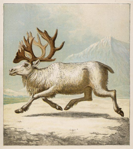 A white reindeer