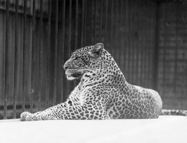 A leopard lounging about in a relaxed pose. Date: 1930s