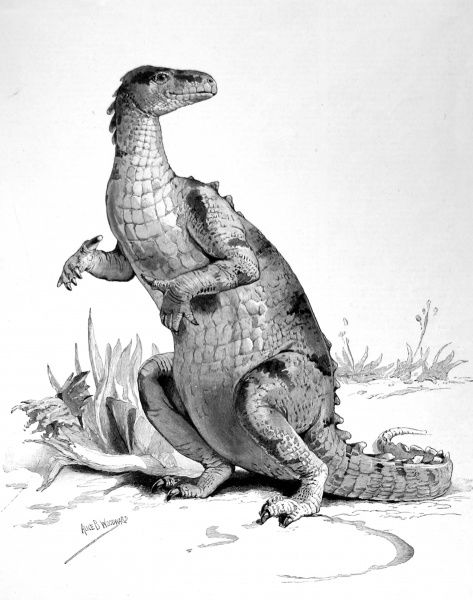The Iguanodon, a large herbivore, which could grow up to 10 metres. It had numerous teeth enabling it to chew vegetation. Its powerful hind legs were ideal for escaping predators