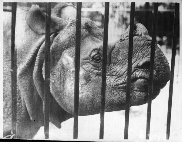 A young rhinoceros peers through the bars of its compound at the zoo