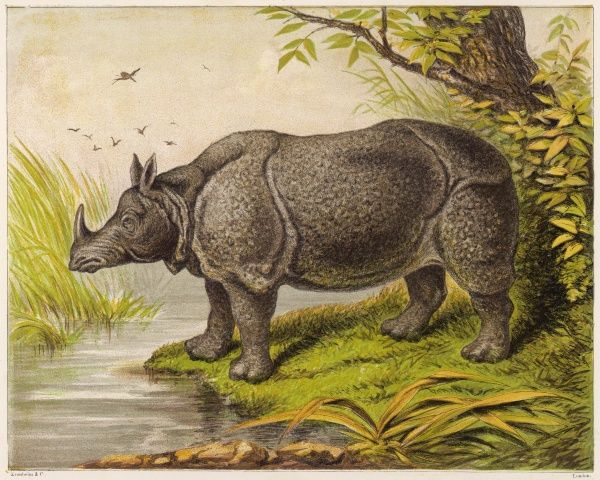 The Indian rhinoceros is the largest of the Asian spiecies. It has a thick, dark-grey hide, which folds like armor