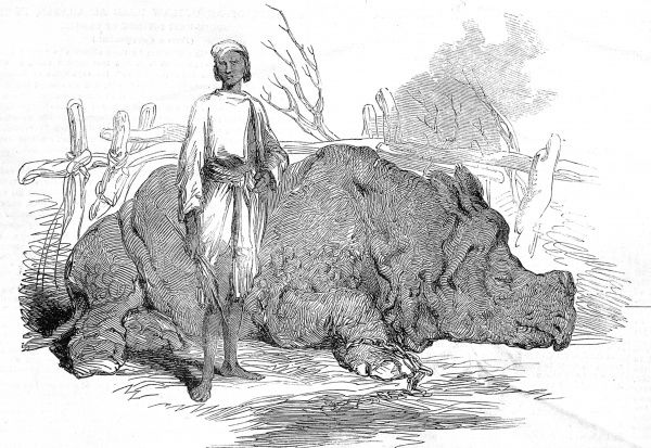 Engraved showing a chained Rhinoceros, found by British forces when they captured the camp of Rundheer Singh, a famous robber chief of Bengal, India, 1852