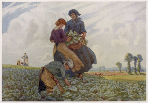 Women gathering rhubarb in a field