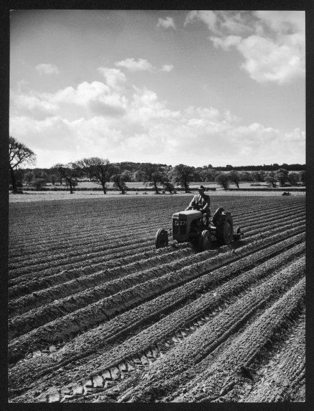 A tractor rolling potatoes in Cheshire