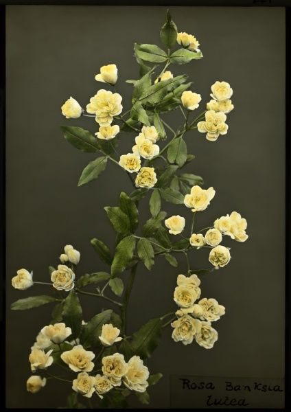 Rosa Banksiae Lutea (Lady Banks' Rose), of the Rosaceae family, native to China. It has white or pale yellow flowers. Lady Banks, after whom this rose was named, was the wife of the botanist Sir Joseph Banks