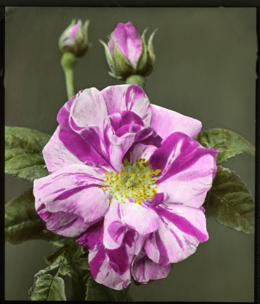 Rosa gallica 'Versicolor' (Rosa Mundi), a popular rose of the Rosaceae family. Seen here in close-up, with an open flower and two buds. The petals are variegated, with pink and purple markings