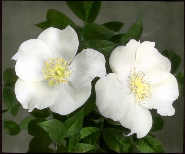 Rosa Gigantea, the largest species of the Rosaceae family, with white, creamy or yellow flowers. Seen here is a close-up of two white flowers