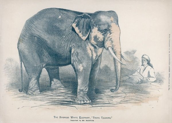 The sacred white Burmese Elephant secured by P T Barnum in 1883, named Toung Taloung. Such an animal had been sought with a passion by Barnum for many years