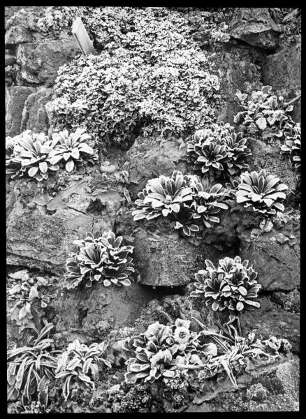 Saxifraga Andrewsii, a perennial of the Saxifragaceae family (commonly known as saxifrages or stone breakers because of their ability to grow in the cracks between rocks). Seen here in a rocky setting, covered with frost