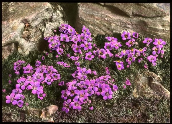 Saxifraga Oppositifolia, a flowering plant of the Saxifragaceae family (commonly known as saxifrages or stone breakers because of their ability to grow in the cracks between rocks). Seen here growing in a rocky setting. It has purple flowers