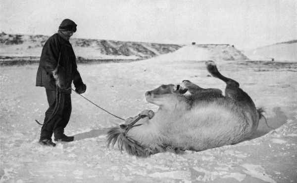 Michael the pony enjoying a roll in the snow near his stables on Antarctica, during the ill-fated Scott polar expedition 1910 - 1912. Captain Scott wrote of the ponies in his diary, 'Poor brutes. How they must have enjoyed their first roll