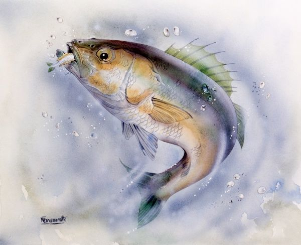 A superb painting by Malcolm Greensmith of a Sea Bass, wheeling to catch a whitebait, it's spiney dorsal fin raised in agressive pose