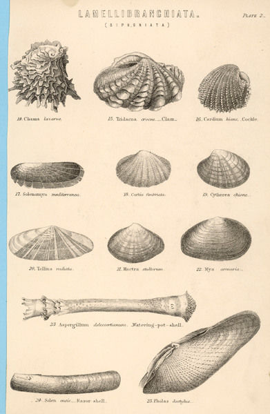 A variety of sea shells including clams, cockles, razor-clams and mussels